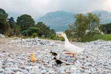 Mother Goose Leads Fluffy Litt...