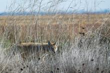 Coyote Walking Through Tall Grass .