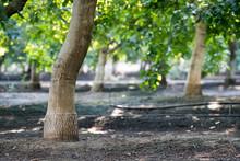 Walnut Tree Orchard Under Canopy