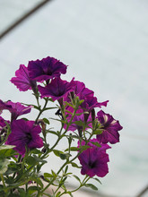 View Of Blossom Spring Purple Petunia Flowers Against The Sky