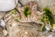 Small Crab Hiding Between Ston...