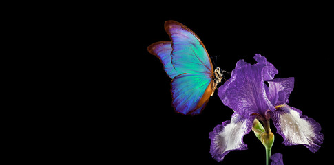 Panel Szklany Nowoczesny beautiful blue morpho butterfly on iris flower isolated on black. copy spaces