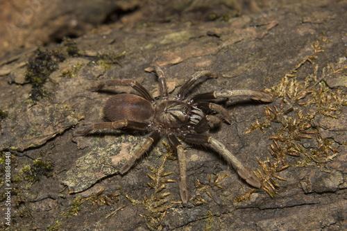 Photo Parambikulam Large Burrowing Spider, Thrigmopoeus Kayi, Theraphosidae, Parambiku