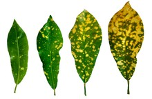 Collection Of Yellow Dot Leave...