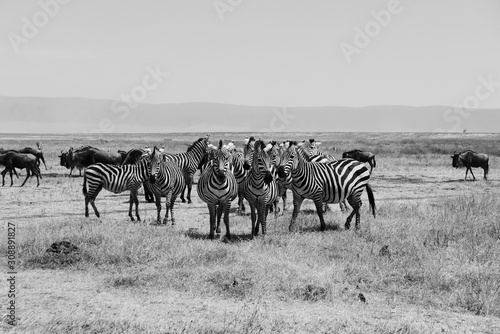 Zabras Black and White Ngorongoro