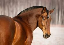 Belorussian Draft Horse