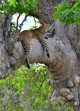 Leopard On A Tree. The Sri Lankan Leopard (Panthera Pardus Kotiya)