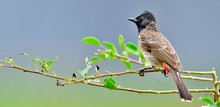 The Red-vented Bulbul (Pycnonotus Cafer) Is A Member Of The Bulbul Family Of Passerines. Sri Lanka