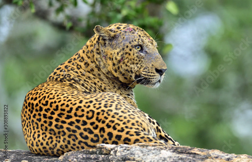 Photo  Old Leopard male with scars on the face lies on the rock