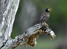 Singing Male Of Common Myna