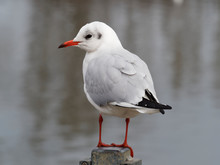 Close Up Of Portrait Of Stunning Black-headed Gull Perched On A Pole Waterside