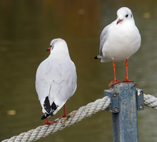 Two Black-headed Gulls Or Seagulls (Chroicocephalus Ridibundus) Resting In Sunlight On A Pole