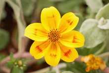 Bidens Ferulifolia - Detail Of A Beautiful Yellow Flowers Planted In The Pot, Summer Teracce.