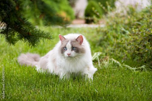Canvas-taulu Ragdoll pet cat on the grass