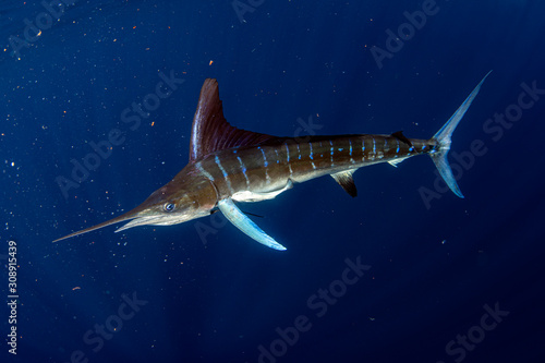 Striped marlin and sea lion hunting in sardine bait ball in pacific ocean Canvas Print