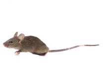 Gray Common House Mouse Isolat...