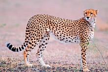 Beautiful Cheetah Cat Standing In Savannah, Hunting.