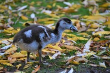 Egyptian Goose Baby Gosling In Park Closeup