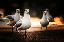 Möwen Präsentieren Sich Im Abendlicht Am Starnberger See