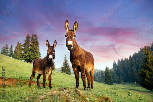Fotografia, Obraz Picture of a funny donkey at sunset in Transylvania.