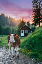 Beautiful Cows On A Meadow Somewhere In Transylvania.