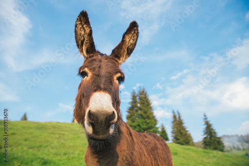 Fototapeta Picture of a funny donkey at sunset.