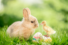 Baby Bunny With Baby Chick O...