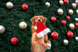 canvas print picture retriever dog holding santa hat in mouth and begging in front of a decorated christmas tree