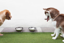 Labrador Retriever Mixed Dog Sitting Next To Siberian Husky On Artificial Grass At Home Looking And Sniffing At Food In A Stainless Steel Bowls.