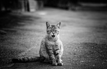 Black And White Portrait Of A Street Cat