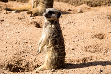 A Meerkat  On Watch Looking Out For Danger