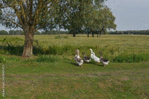Photo Flock of domestic geese walks and grazes in the corral for the animals and birds Farm