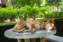 Thai Dog Laying Down And Sleeping On A Table In The Garden