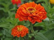 Beautiful Orange Zinnia Park Flowers Blooming