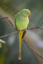 Indian Ring-Necked Parrots At ...