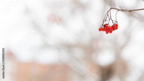 Photo Rowan berries hang on the Bush in the snow