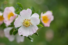 Beautiful Flowers Of Dog Rose ...