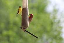 American Goldfinch And Purple Finch On Sock Feeder