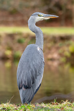 Close Up Portrait Grey Heron