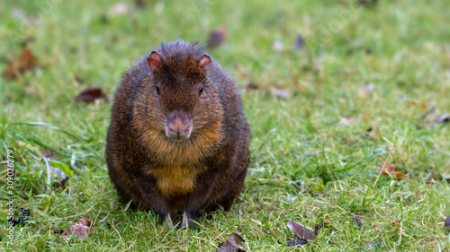 Small Agouti Sitting on Grass Wallpaper Mural