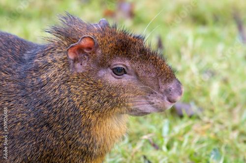 Photo Small Agouti Sitting on Grass