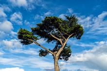SIngle Cyprtess Tree On A Blue...