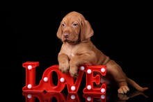 Cute Puppy Vizsla With The Wor...