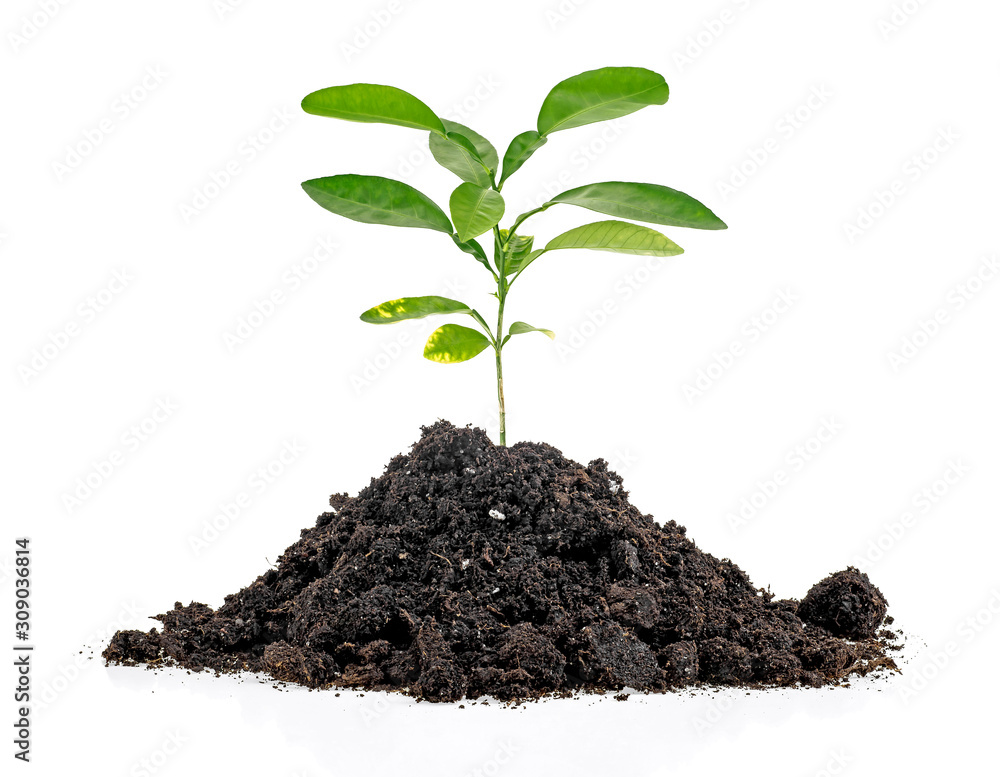 Fototapeta Green sprout growing out from soil isolated on white background