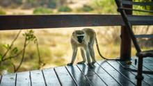 Vervet Monkey In Kruger National Park, Mpumalanga, South Africa 2