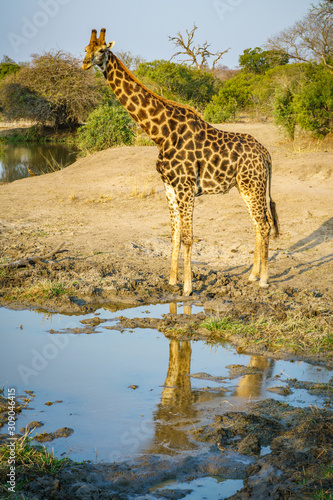 giraffe in kruger national park, mpumalanga, south africa Canvas Print