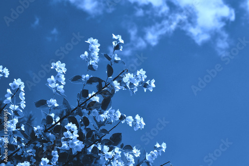 Classic blue jasmine background Wallpaper Mural