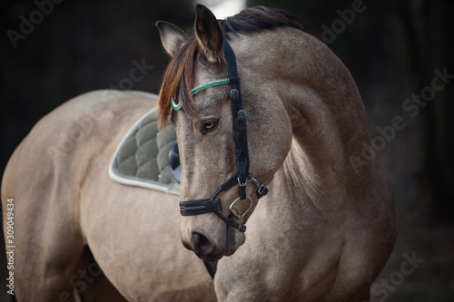 Obraz na plátne portrait of stunning show jumping gelding horse with bridle and browband with be