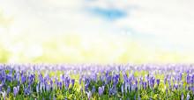 Background Crocus Springtime