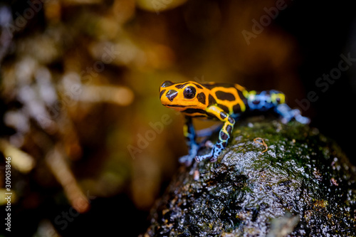 Mimic Poison Frog or poison arrow frog Canvas Print